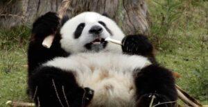 りんたろーの妹はパンダ好き!胸の下にタトゥー!?